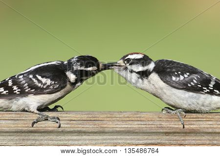 Female Downy Woodpecker (Picoides pubescens) on a perch feeding her baby