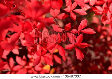 colorful autumn leaves of red maple leaves