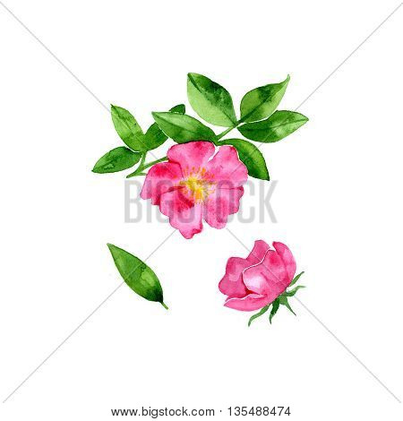 Pink flowers. Red rosehip with watercolors on white background