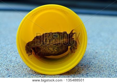Toad relaxing inside a yellow cup on the cement