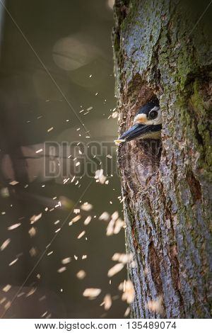 Great spotted woodpecker (Dendrocopos major) making room for the family in his new cavity