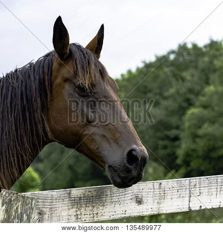 Brown horse's head over a board fence looking toward the right
