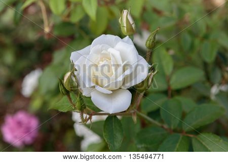 One Beautiful White Rose With Buds
