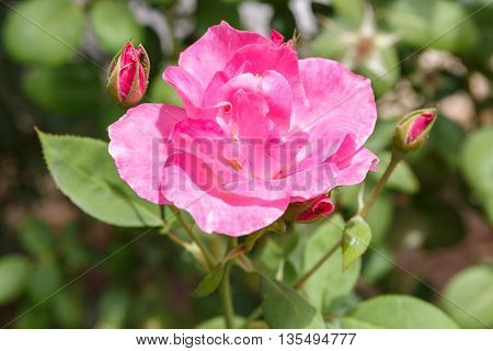 One Pink Decorative Rose