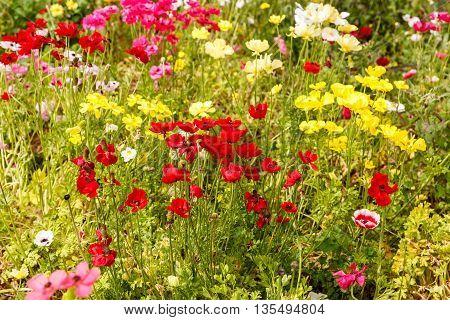 Multi colored anemones at the bright field