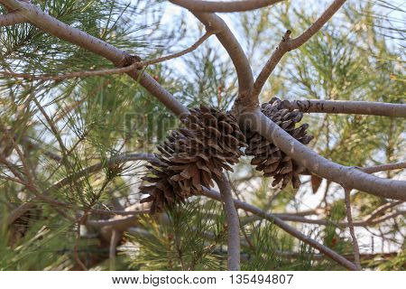Some Dry Pinecone Of Mediterranean Pine
