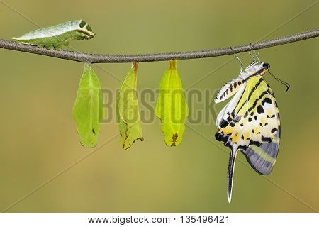 Isolated Five Bar Swordtail Butterfly Life Cycle (antiphates Pompilius) On White