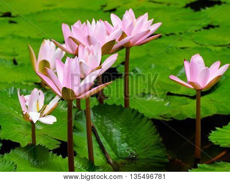 Pink water lilly or lotus in a pond