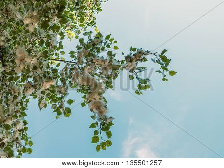 Branch blossoming poplar on a background of blue sky