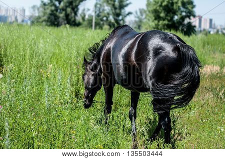 Horse Graze In A Meadow