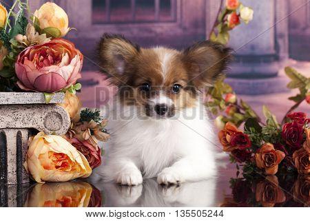 Papillon puppy,  butterfly dog