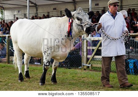 NEWBURY, UK - SEPTEMBER 21: An award winning bull is lead around the arena by his handler during the Grand Livestock Finale show at the Berks County show on September 21, 2014 in Newbury