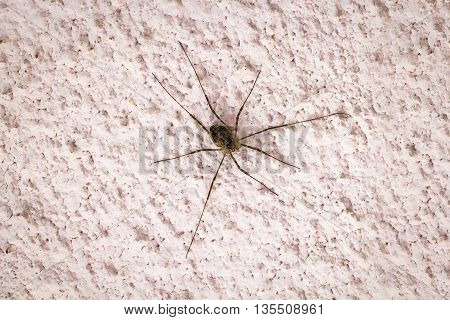 Large long-legged spider on a pink concrete wall close-up