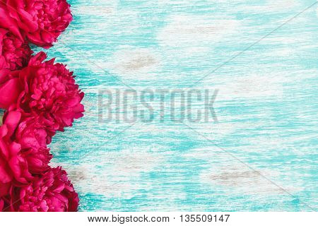 Background from big crimson peonies on the light blue background