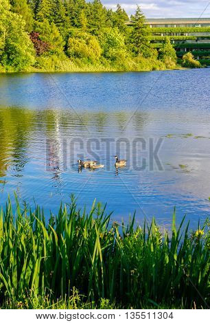Ducks Swiming In The Clear Blue Lake