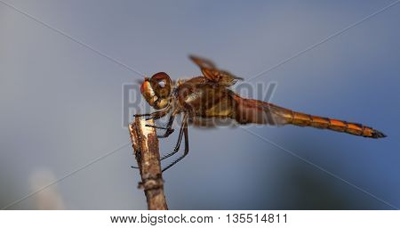 Dragonfly that is on a stick with the sky behind