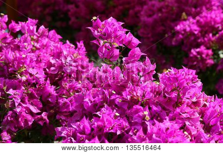 Background Of Beautiful Flowers In Bloom With The Magenta Petals