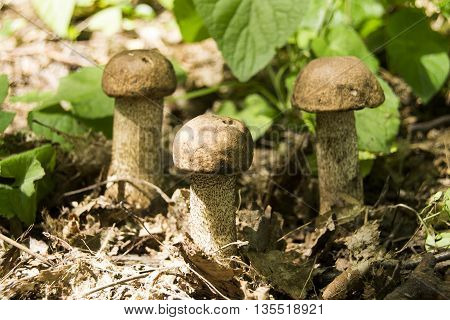 Mushroom picking. Single mushroom with moss in brown woooden background. Seasonal mushrooming.