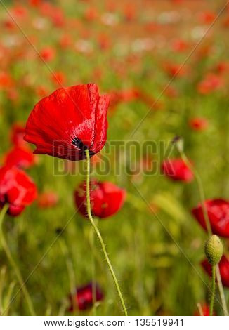 Red Poppies on green field. Beautiful poppy field background.