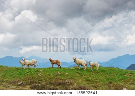 Sheep in mountain pastures in the summer