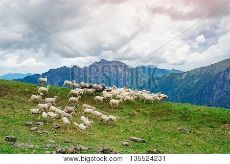 Sheep run on green pastures of Italian alps