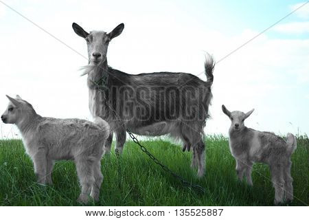 Goats on the meadow