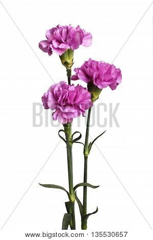 Three gently purple carnations isolated on white background