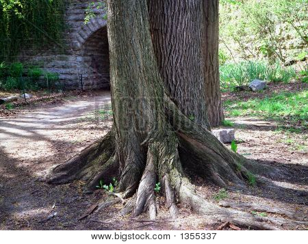 Ancient Tree Roots