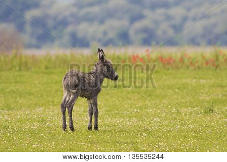 Gray Baby donkey on the floral meadow