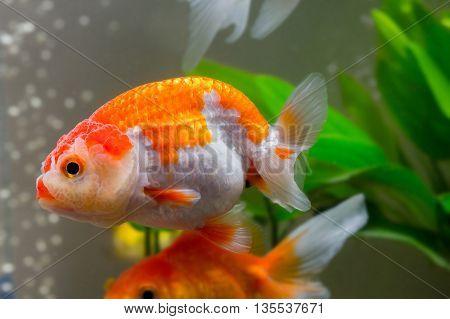 close up Goldfish swimming in an aquarium