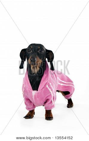 Dachshund in a pink suit