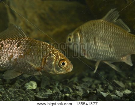 Two Prussian carp Carassius gibelio swimming in the tank