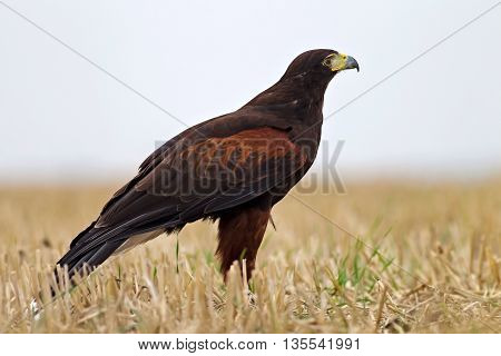 MARCH, UK - SEPTEMBER 11: An adult female Harris hawk lands in a field while flying untethered from one display stand to another as part of her public display training on September 11, 2014 in March