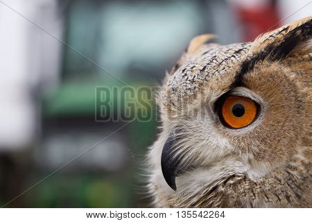 MARCH, UK - SEPTEMBER 11: A juvenile Eagle owl concentrates on prey at the end of a lure as part of the birds training for future public flying displays on September 11, 2014 in March
