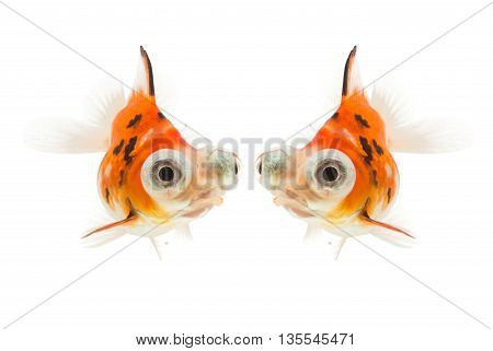 Calico Telescope-eyes Goldfish goldfish isolated on white background. File contains a clipping path.
