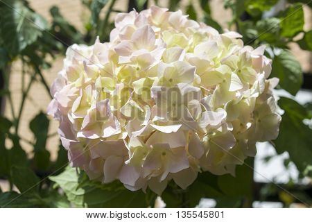 White hydrangea plant with greenery in the background