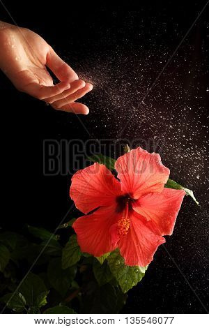 Water splashes over the hibiscus flower photographed with flash on a black background