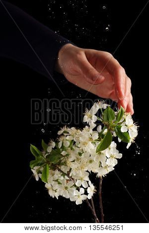 Water splashes on a branch of cherry blossoms photographed with flash on a black background