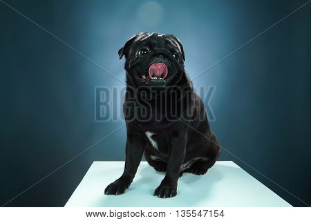 Close-up of a Pug puppy in front of a blue background