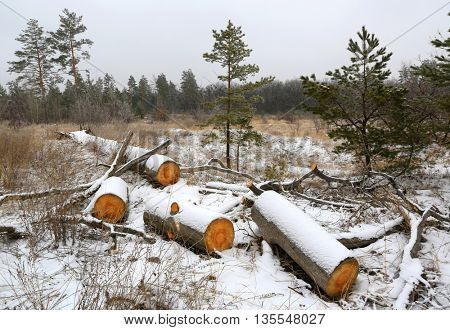 pine wooden logs on winter meadow in forest