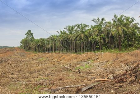 Palm oil plantation and former rainforest land cleared for cultivation