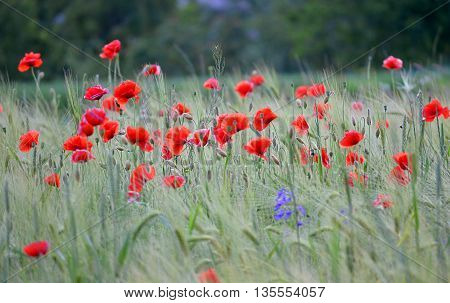 blooming red poppies in wheat field in countryside