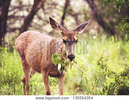 a cute deer grazing in a local park on a branch of leaves