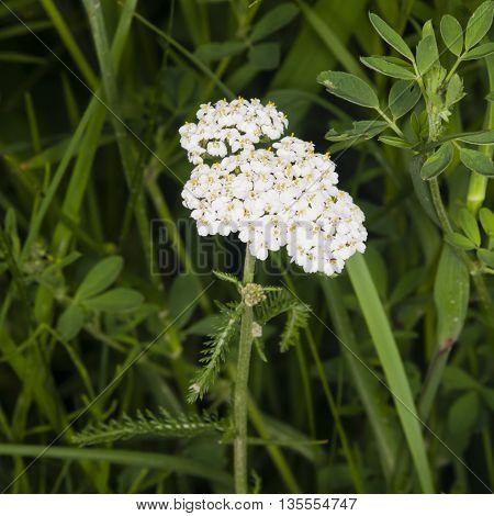 Blooming Common Yarrow Achillea millefolium macro selective focus shallow DOF
