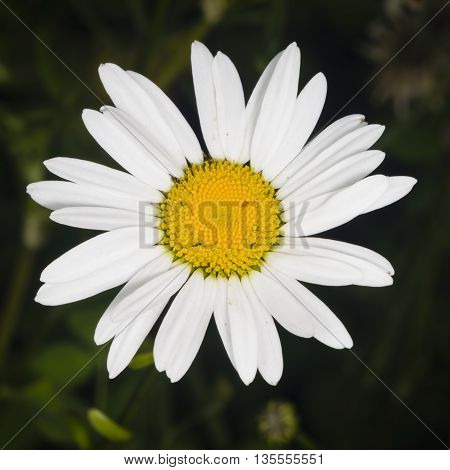 Oxeye daisy Leucanthemum vulgare flower macro with bokeh background selective focus shallow DOF