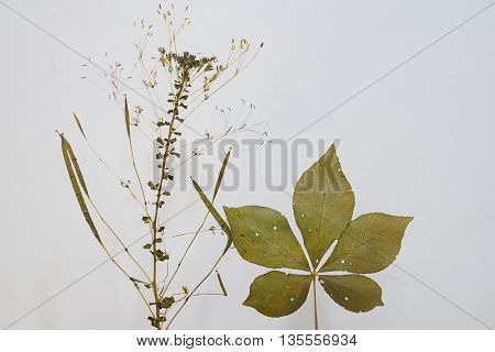 dried plant or herbarium of a kind of weed isolated on white background