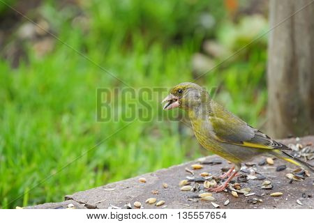 European Greenfinch bird (Chloris chloris) in yellow green color eating sunflower seeds on the ground with blurred green meadow background, in Austria, Europe during summer