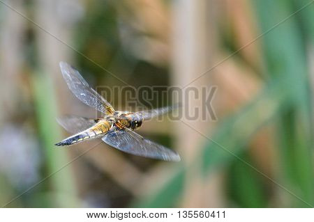 A dragonfly in flight. Photos of flying dragonflies in the summer on the pond.