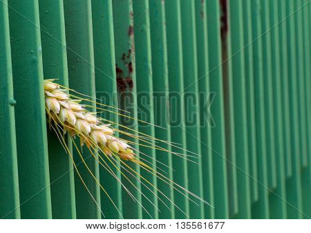 wheat peering trough green metal fence. narrow dept of field focuc
