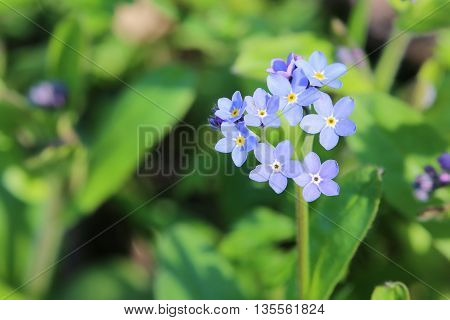 Wood Forget-me-not (myosotis Sylvatica) With Blue Blossoms